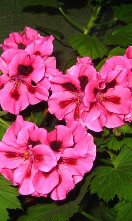 7321 скачать обои Растения, Цветы, Анютины Глазки - заставки и картинки бесплатно
