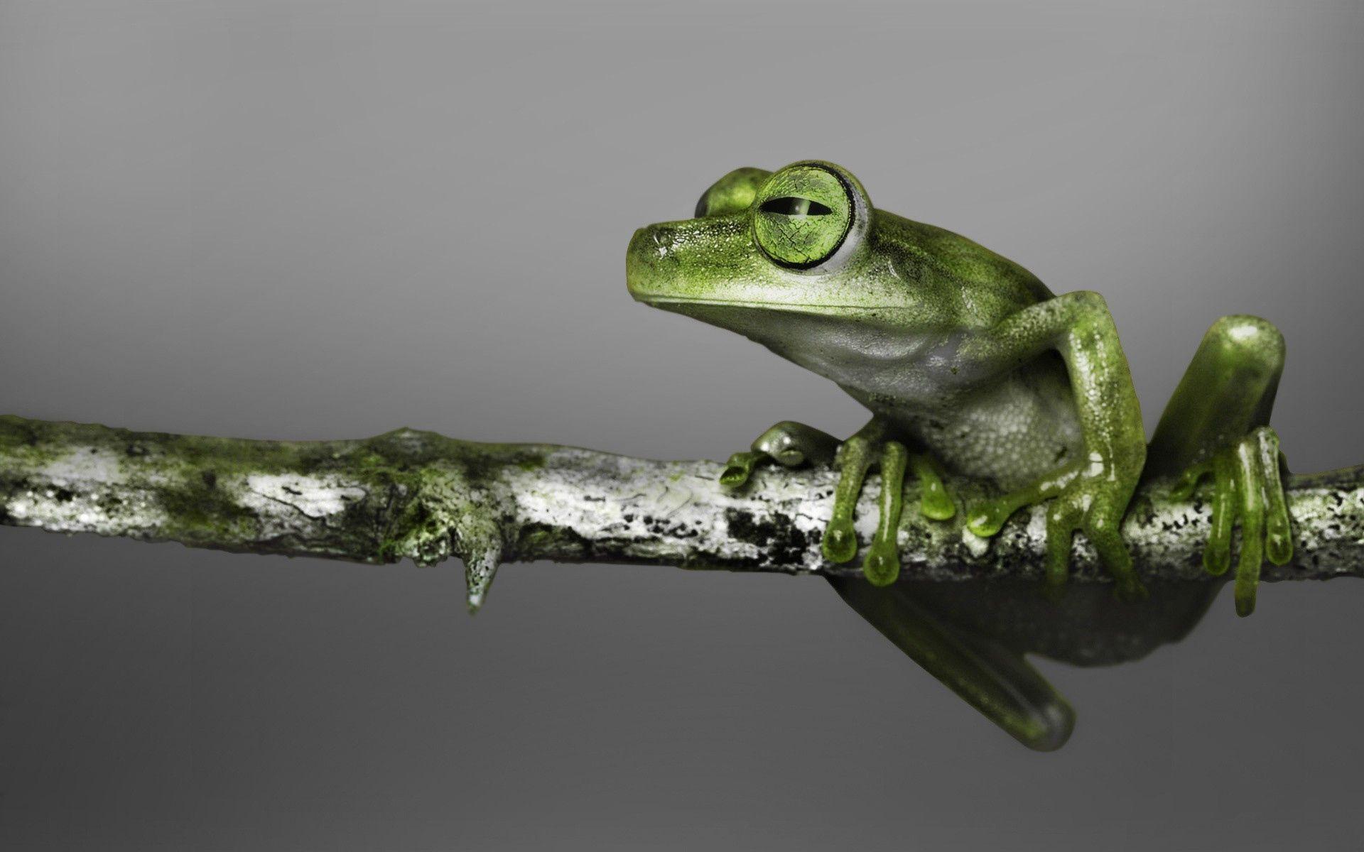 135929 Hintergrundbild herunterladen Tiere, Farbe, Ast, Zweig, Steigen, Klettern, Frosch - Bildschirmschoner und Bilder kostenlos