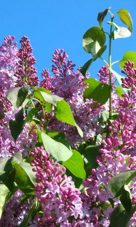 40857 скачать обои Растения, Цветы, Сирень - заставки и картинки бесплатно
