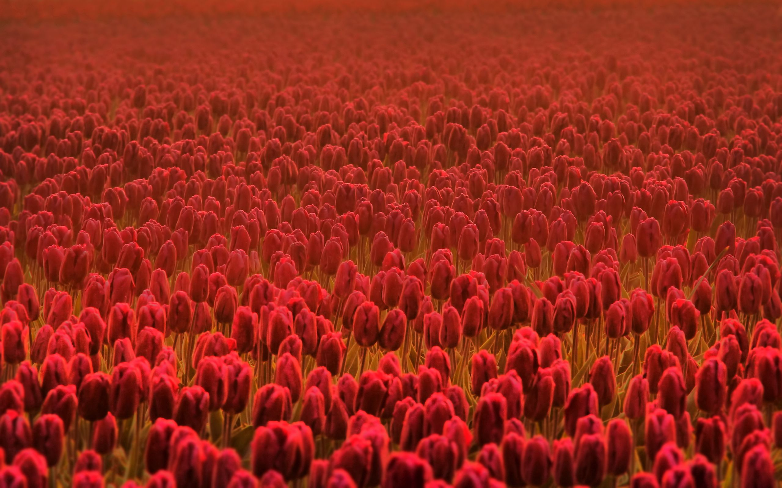 100072 download wallpaper Flowers, Plantation, Spring, Tulip screensavers and pictures for free