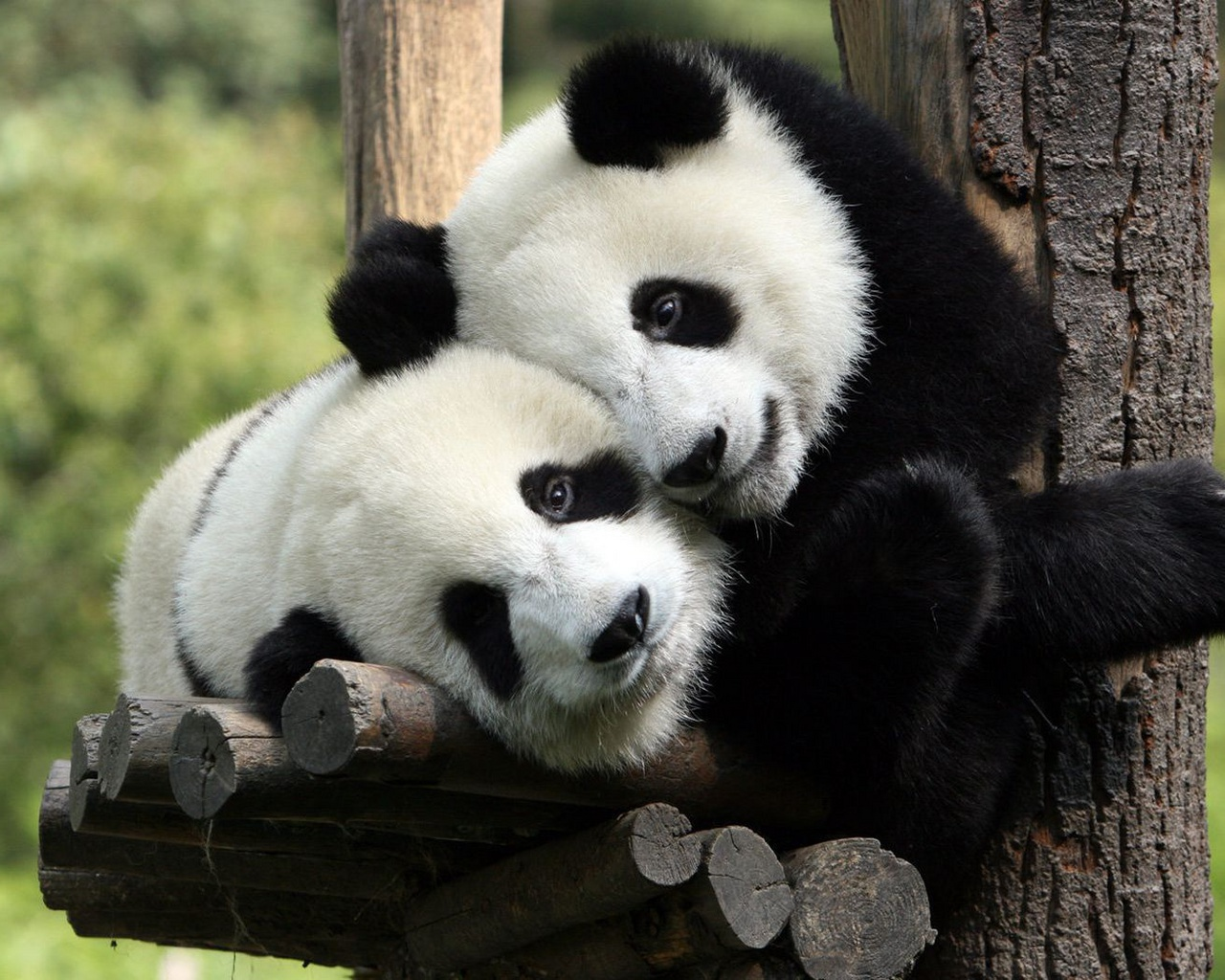 33480 download wallpaper Animals, Pandas screensavers and pictures for free