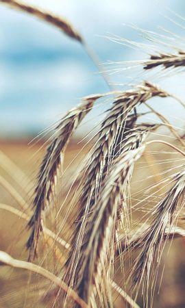 86144 скачать обои Макро, Колоски, Жито, Рожь, Поле, Пшеница - заставки и картинки бесплатно