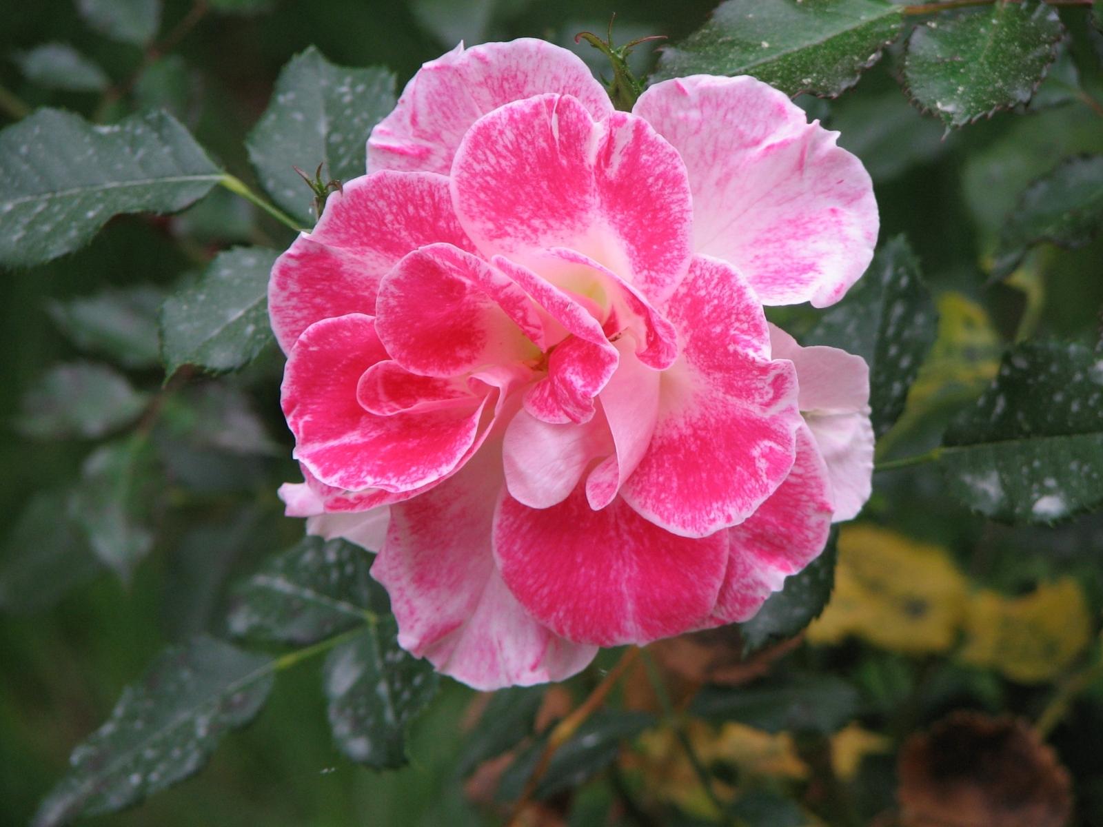 3480 скачать обои Растения, Цветы - заставки и картинки бесплатно