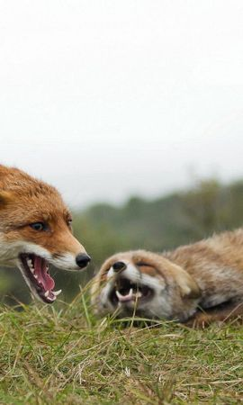153498 download wallpaper Animals, Couple, Pair, Fight, Aggression, Grass, Fox screensavers and pictures for free