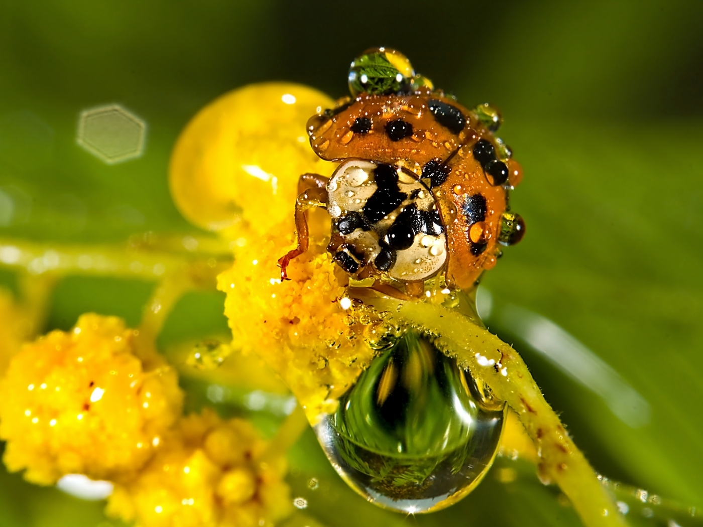 24996 download wallpaper Insects, Ladybugs, Drops screensavers and pictures for free