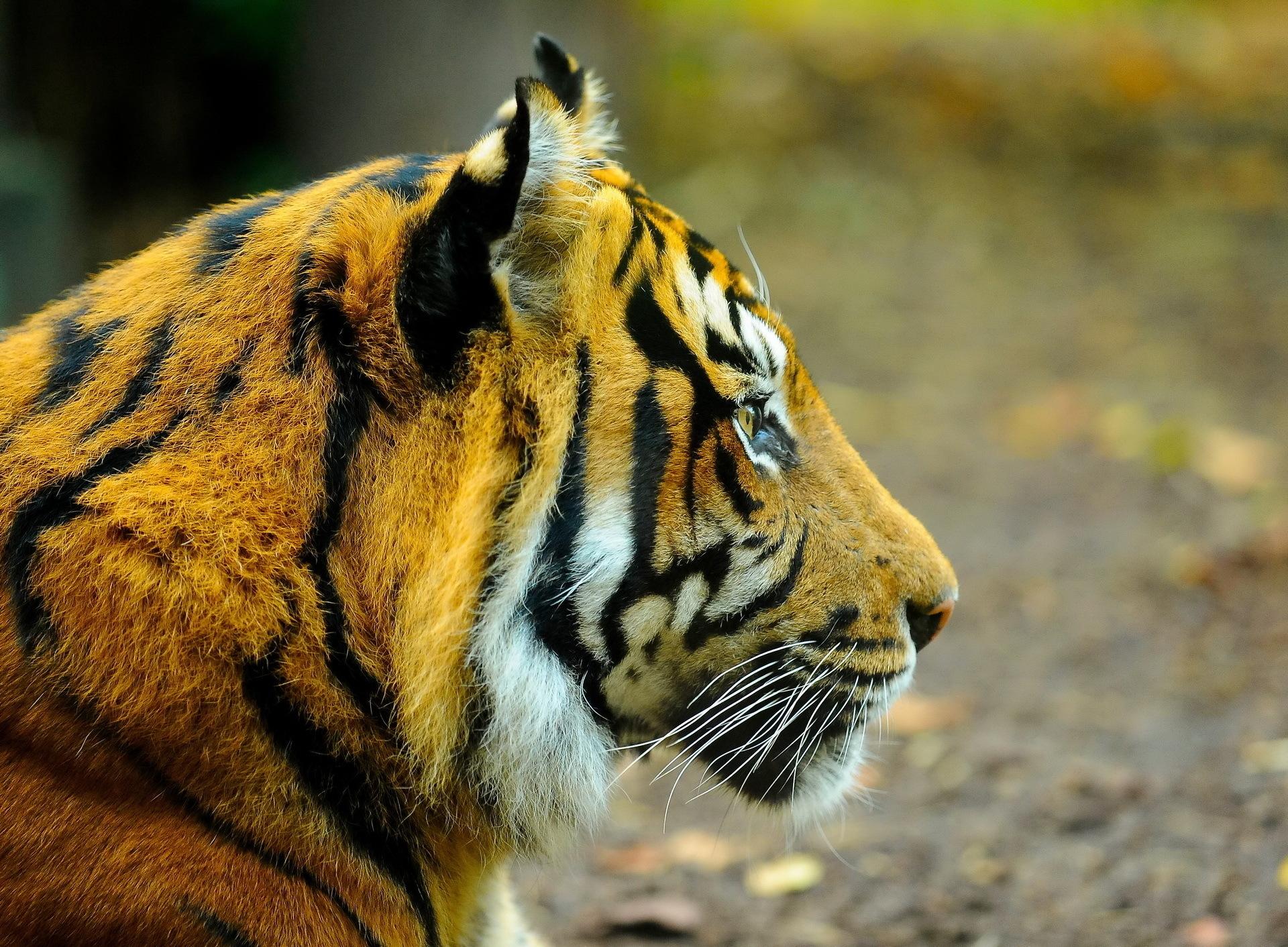 127919 скачать обои Животные, Тигр, Морда, Взгляд, Профиль, Хищник - заставки и картинки бесплатно