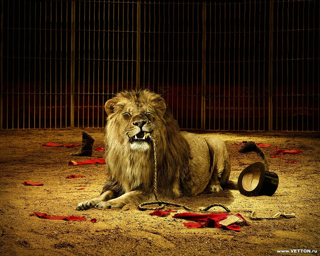 4482 download wallpaper Funny, Animals, Lions screensavers and pictures for free