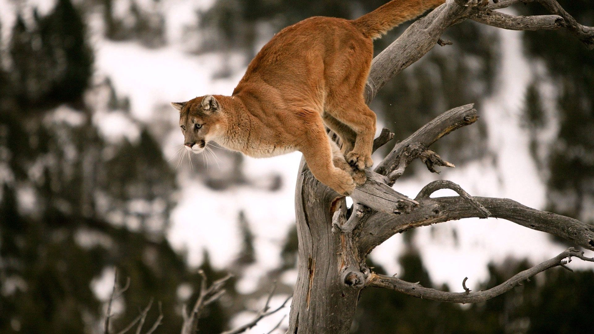 111672 Screensavers and Wallpapers Branches for phone. Download Animals, Puma, Wood, Tree, Branches, Bounce, Jump, Blurred Background pictures for free