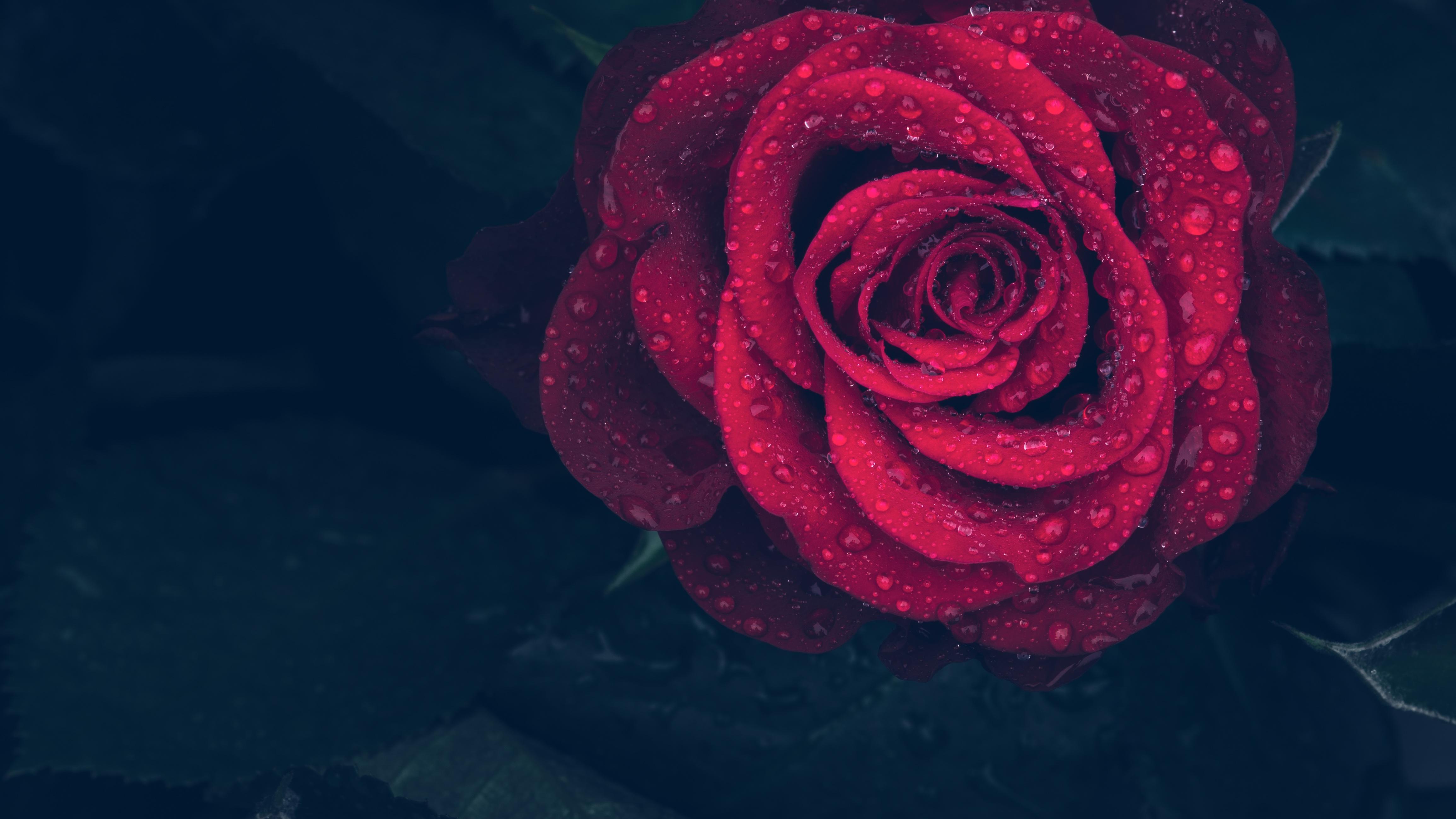 136876 скачать обои Роза, Капли, Макро, Красный, Крупным Планом - заставки и картинки бесплатно