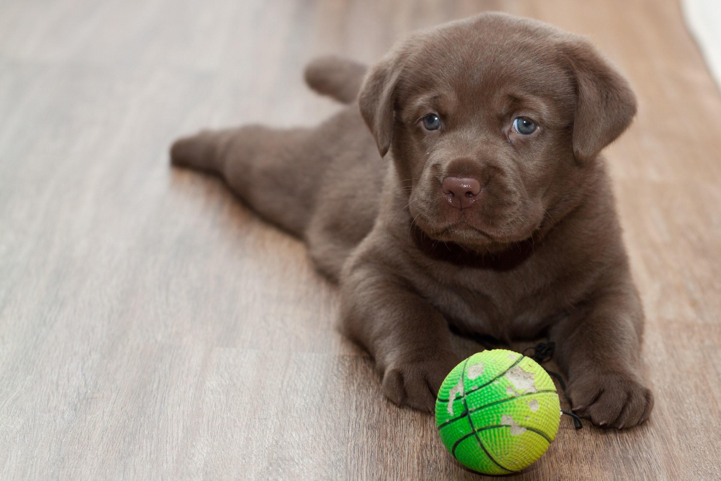 52933 descargar fondo de pantalla Animales, Labrador, Cachorro, Bola, Pelota, Juguetón: protectores de pantalla e imágenes gratis
