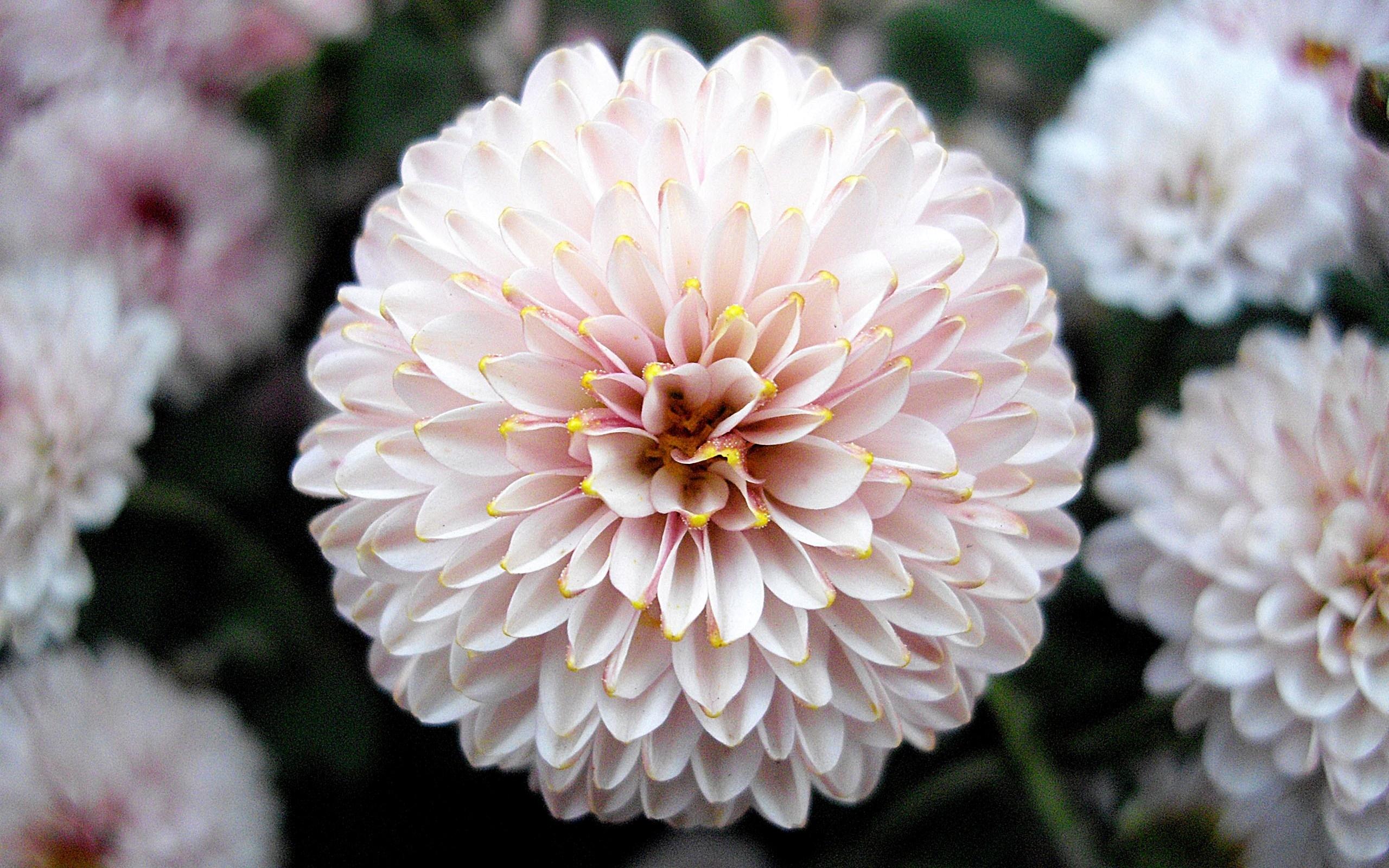 9071 завантажити шпалери Рослини, Квіти, Фон, Півонії - заставки і картинки безкоштовно