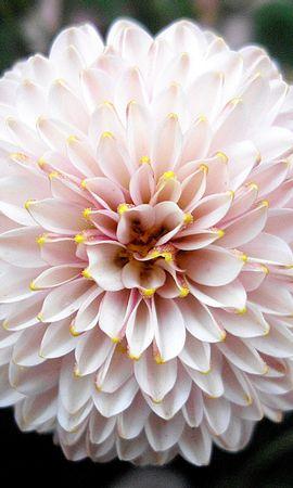 9071 скачать обои Растения, Цветы, Фон, Пионы - заставки и картинки бесплатно