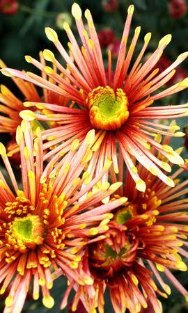 10514 скачать обои Растения, Цветы - заставки и картинки бесплатно