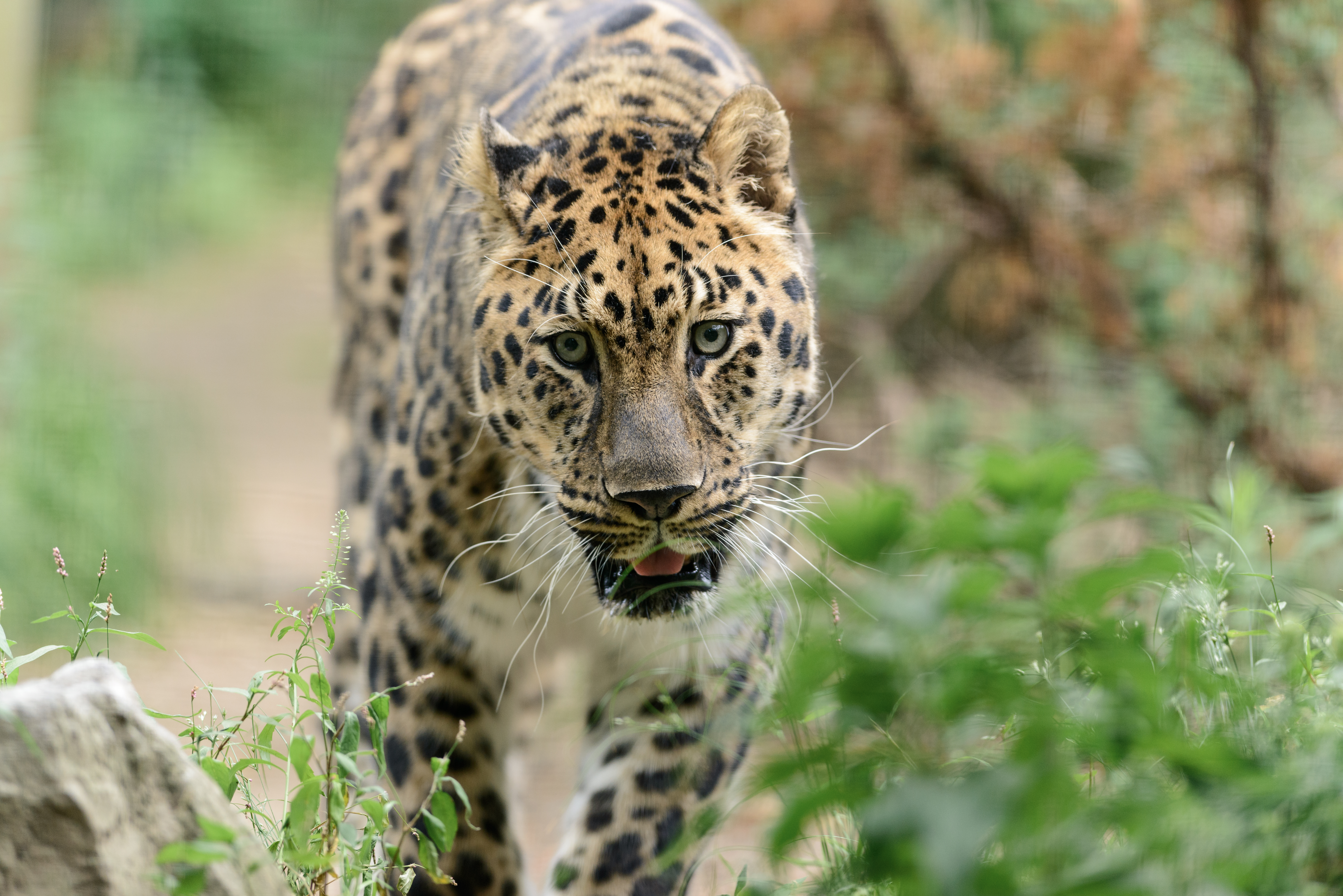 136293 download wallpaper Animals, Leopard, Big Cat, Predator, Stroll screensavers and pictures for free