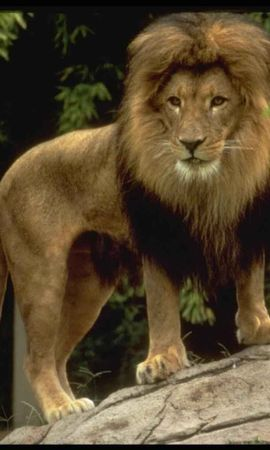 6667 download wallpaper Animals, Lions screensavers and pictures for free