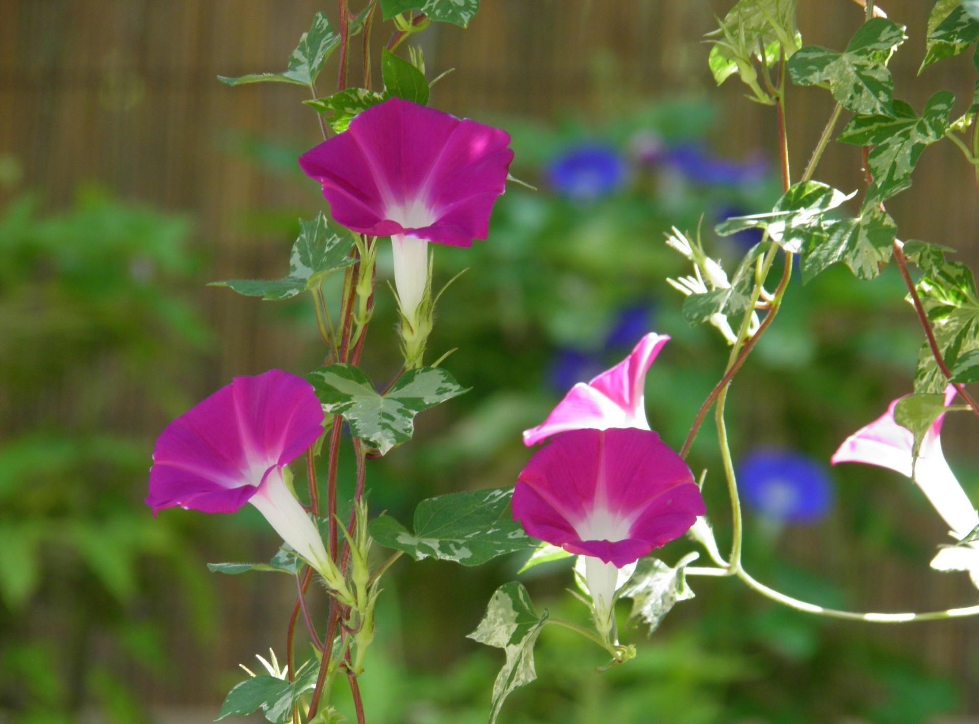 90533 Hintergrundbild herunterladen Blumen, Bindweed, Unschärfe, Glatt, Grüne, Grünen, Winde, Ipme - Bildschirmschoner und Bilder kostenlos
