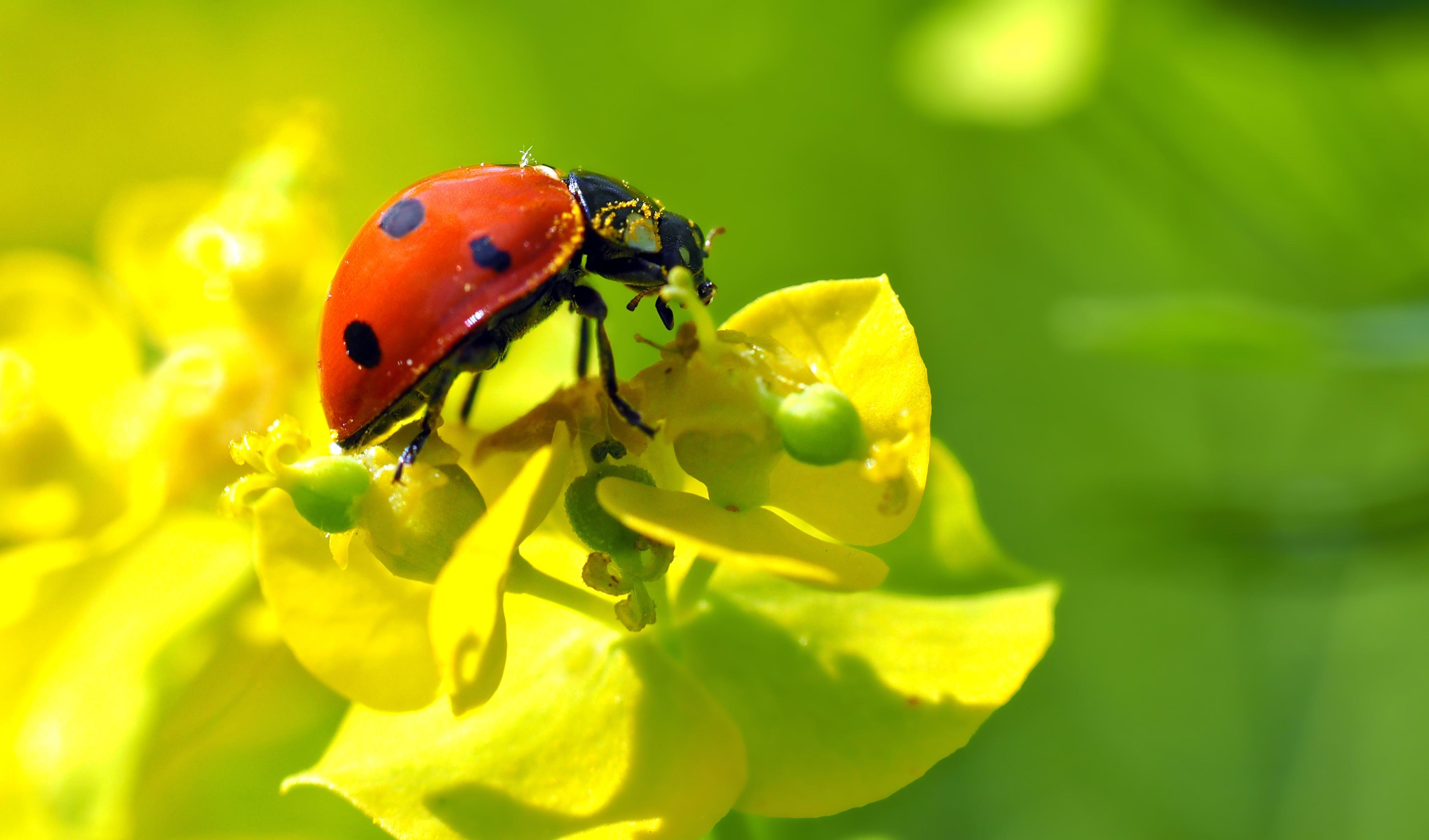54985 Hintergrundbild herunterladen Marienkäfer, Blume, Makro, Insekt, Ladybird - Bildschirmschoner und Bilder kostenlos