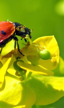 お使いの携帯電話の54985スクリーンセーバーと壁紙昆虫。 大きい, マクロ, てんとう虫, 天道虫, 花, 昆虫の写真を無料でダウンロード