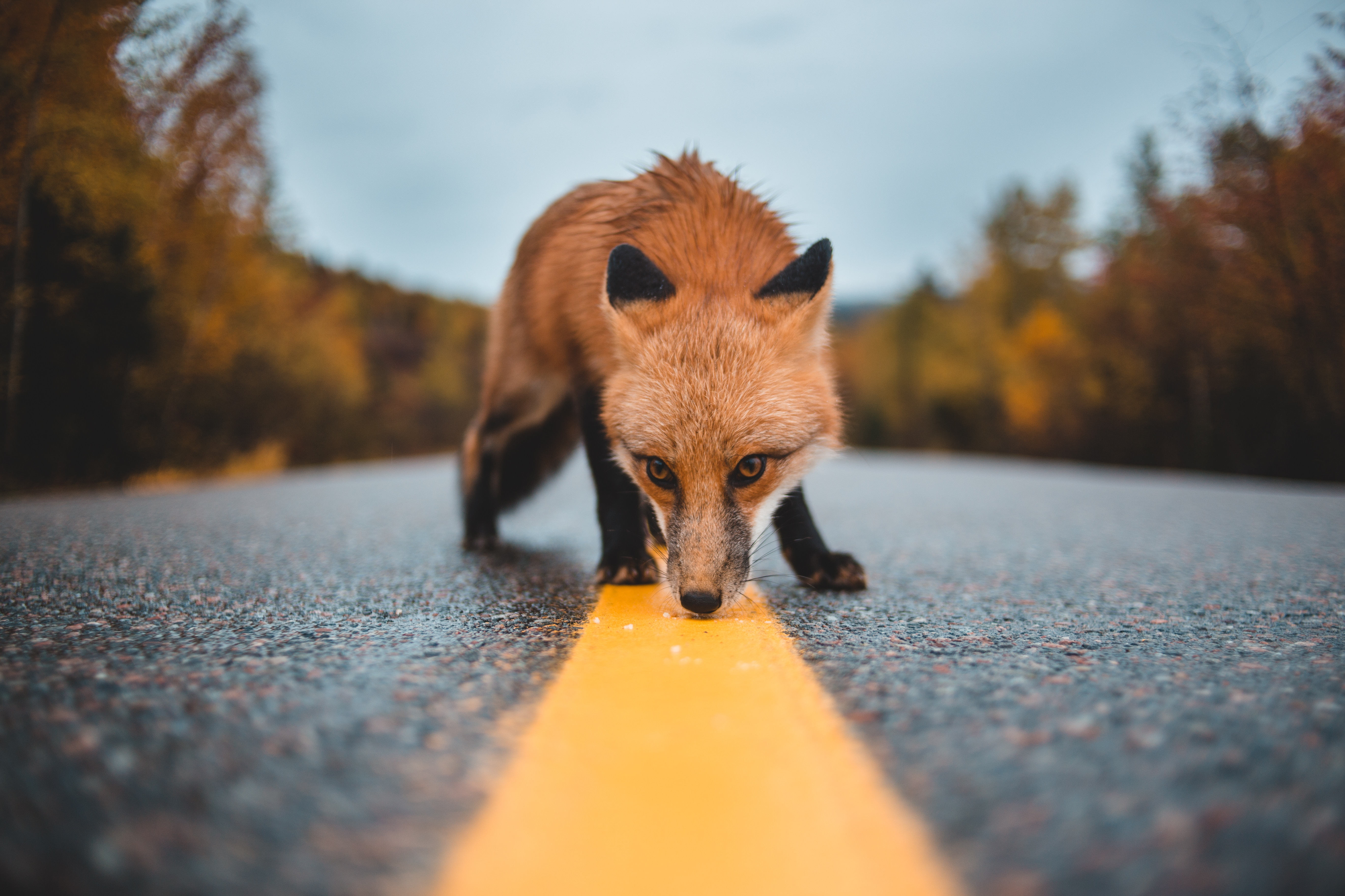 125712 Screensavers and Wallpapers Markup for phone. Download Animals, Fox, Markup, Asphalt, Wildlife, Curiosity, Scent, Flair pictures for free