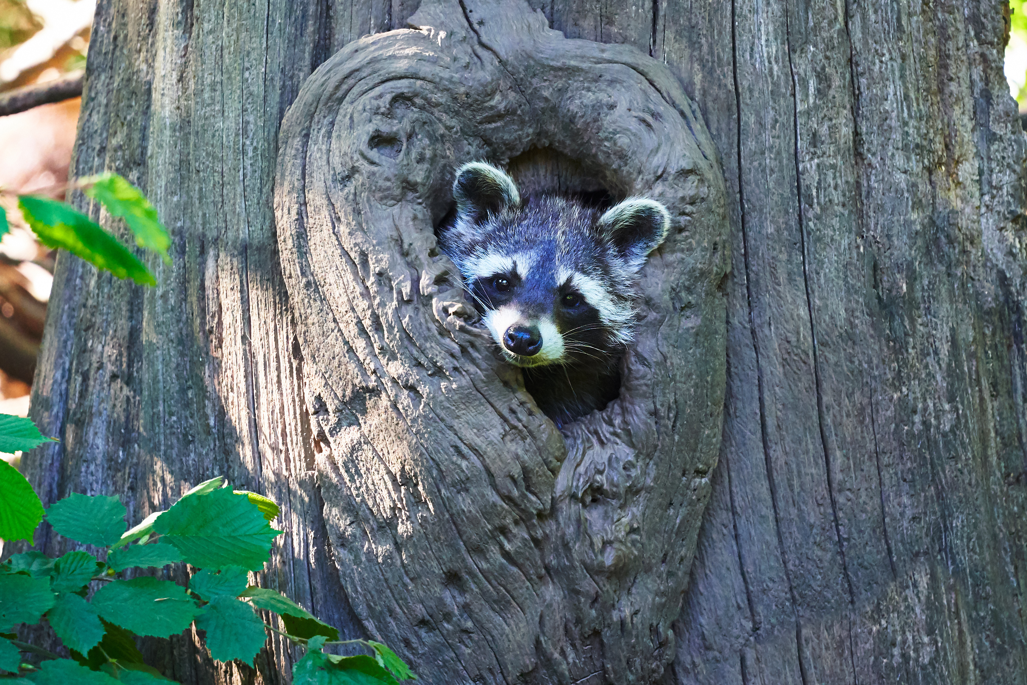 65661 Screensavers and Wallpapers Raccoon for phone. Download Animals, Wood, Tree, Muzzle, Nice, Sweetheart, Raccoon pictures for free