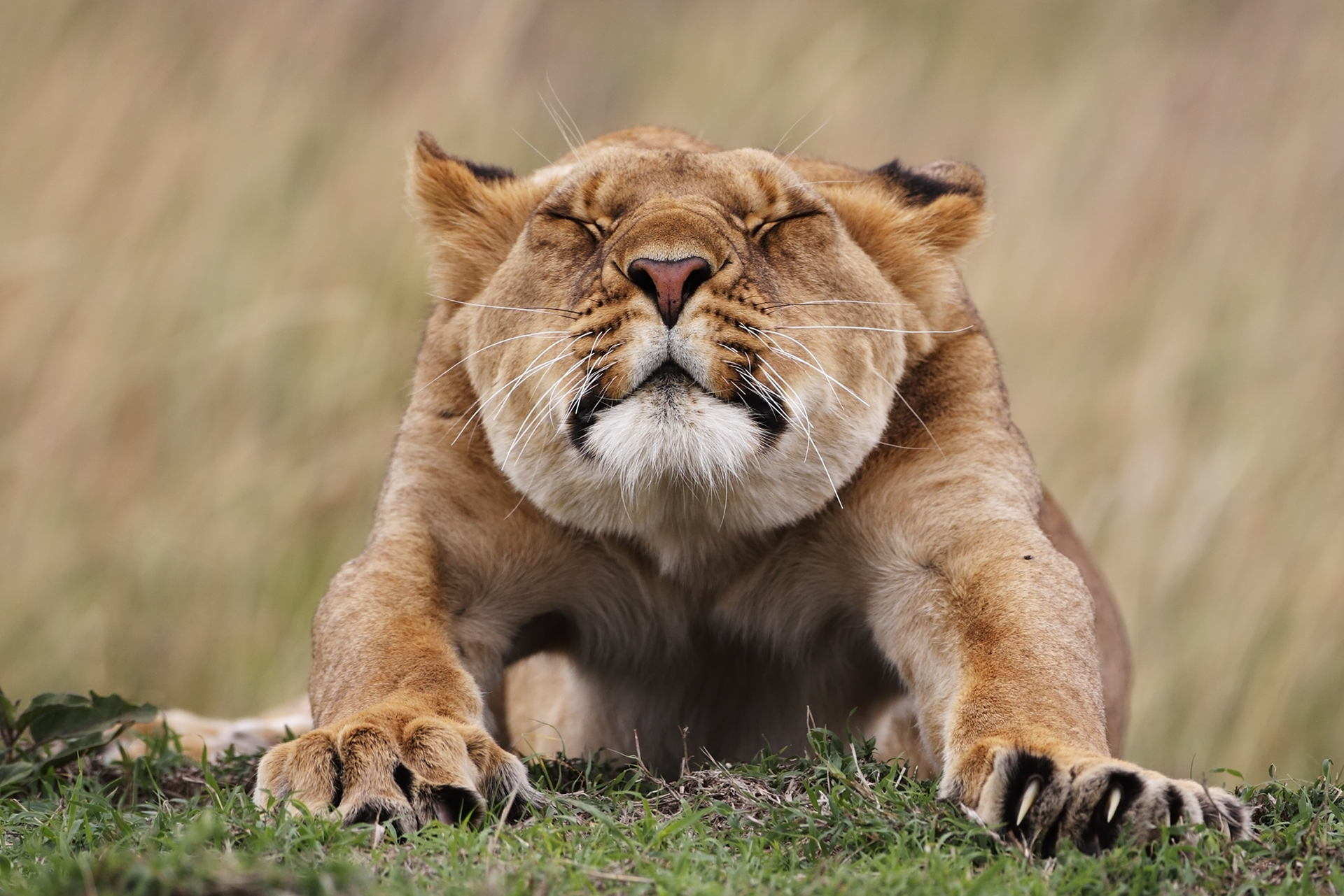 Popular Lioness images for mobile phone