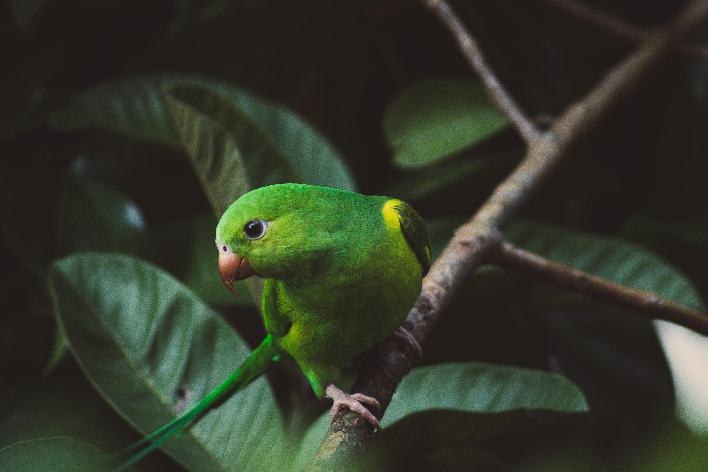 67993 télécharger le fond d'écran Perroquets, Animaux, Oiseau, Branche, Perruche, Perroquet Ondulé - économiseurs d'écran et images gratuitement