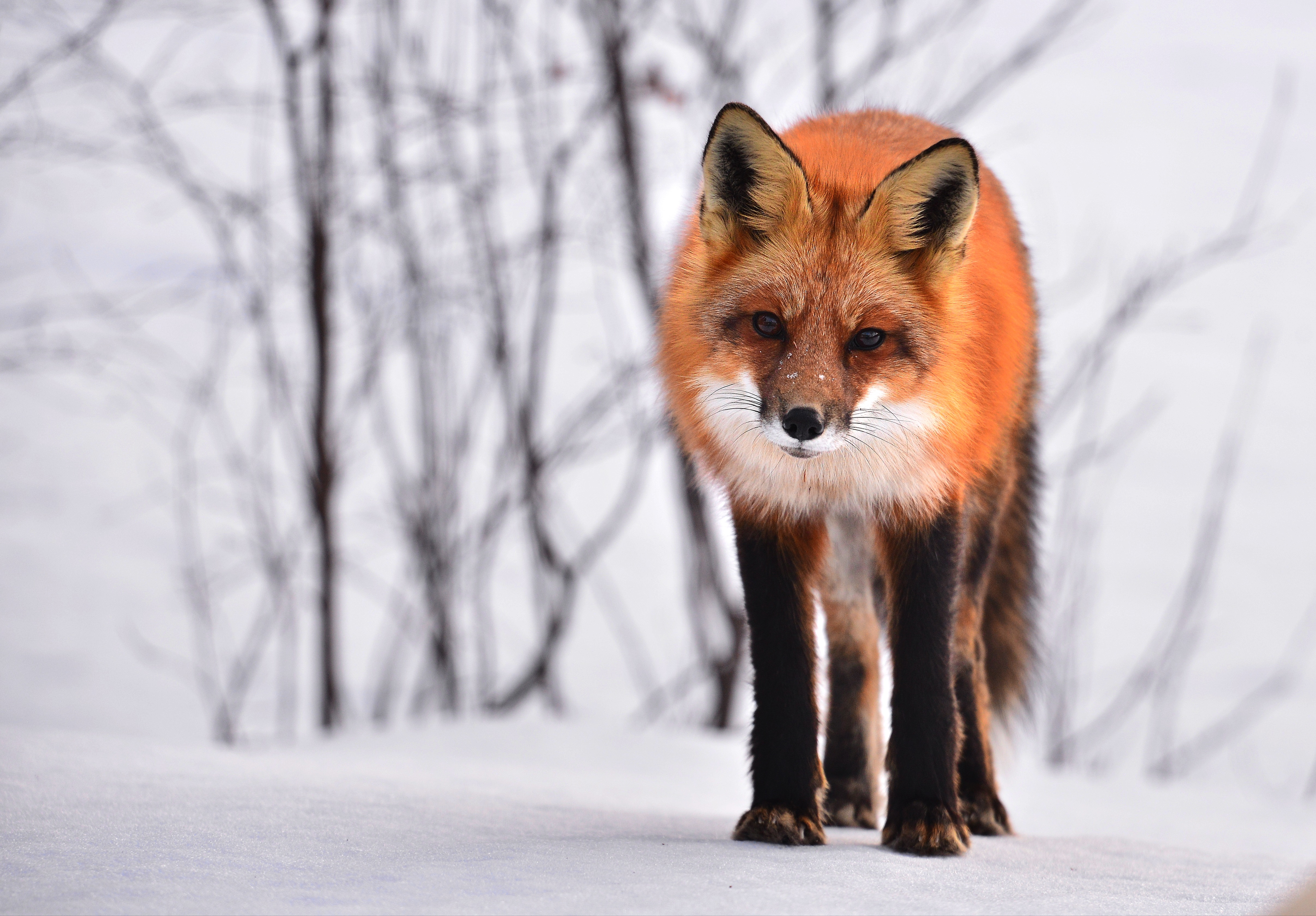55653 Screensavers and Wallpapers Fox for phone. Download Animals, Winter, Snow, Fox, Looks, Curious pictures for free