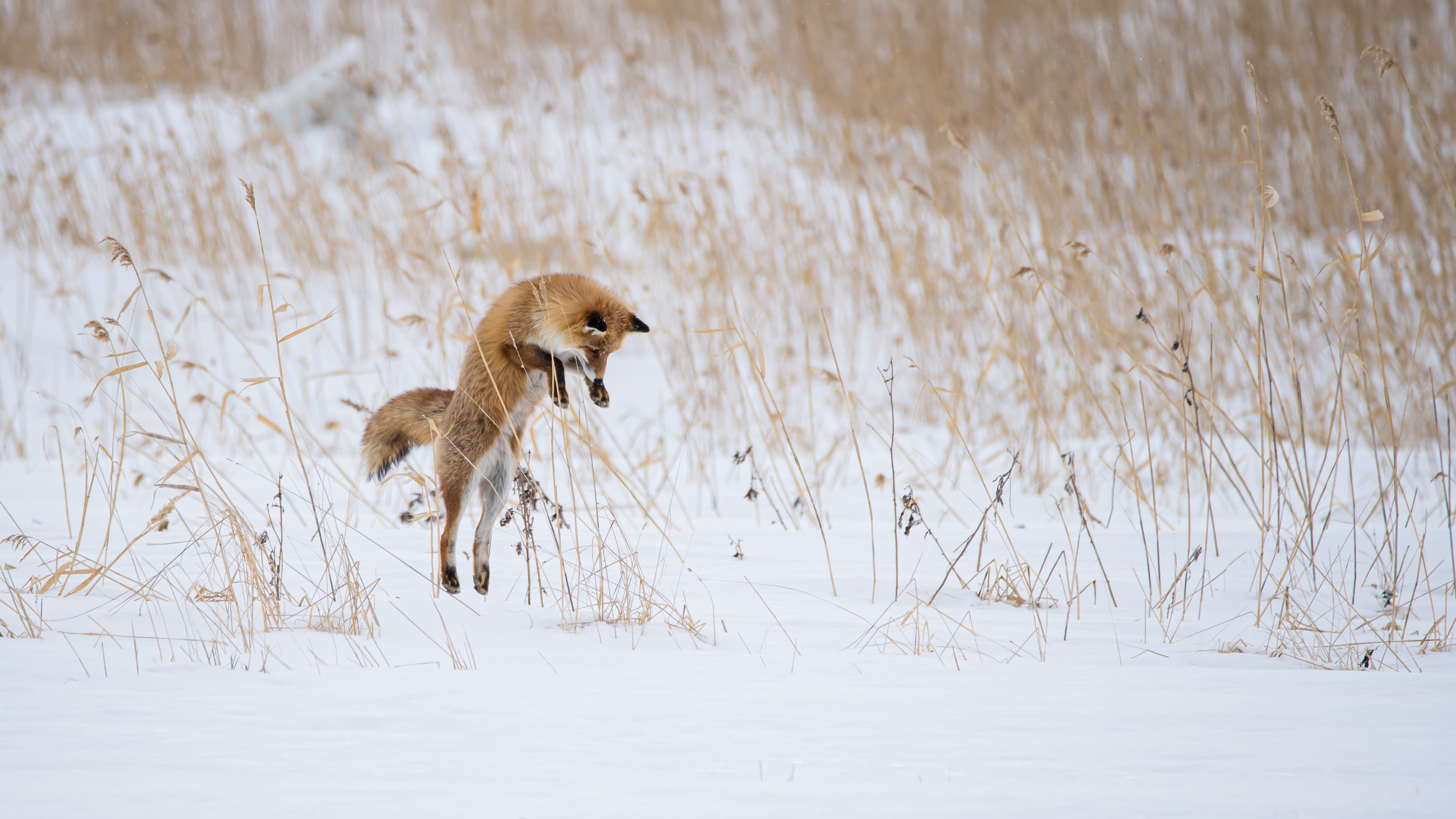 88413 download wallpaper Animals, Fox, Bounce, Jump, Hunting, Hunt, Animal, Snow, Winter screensavers and pictures for free
