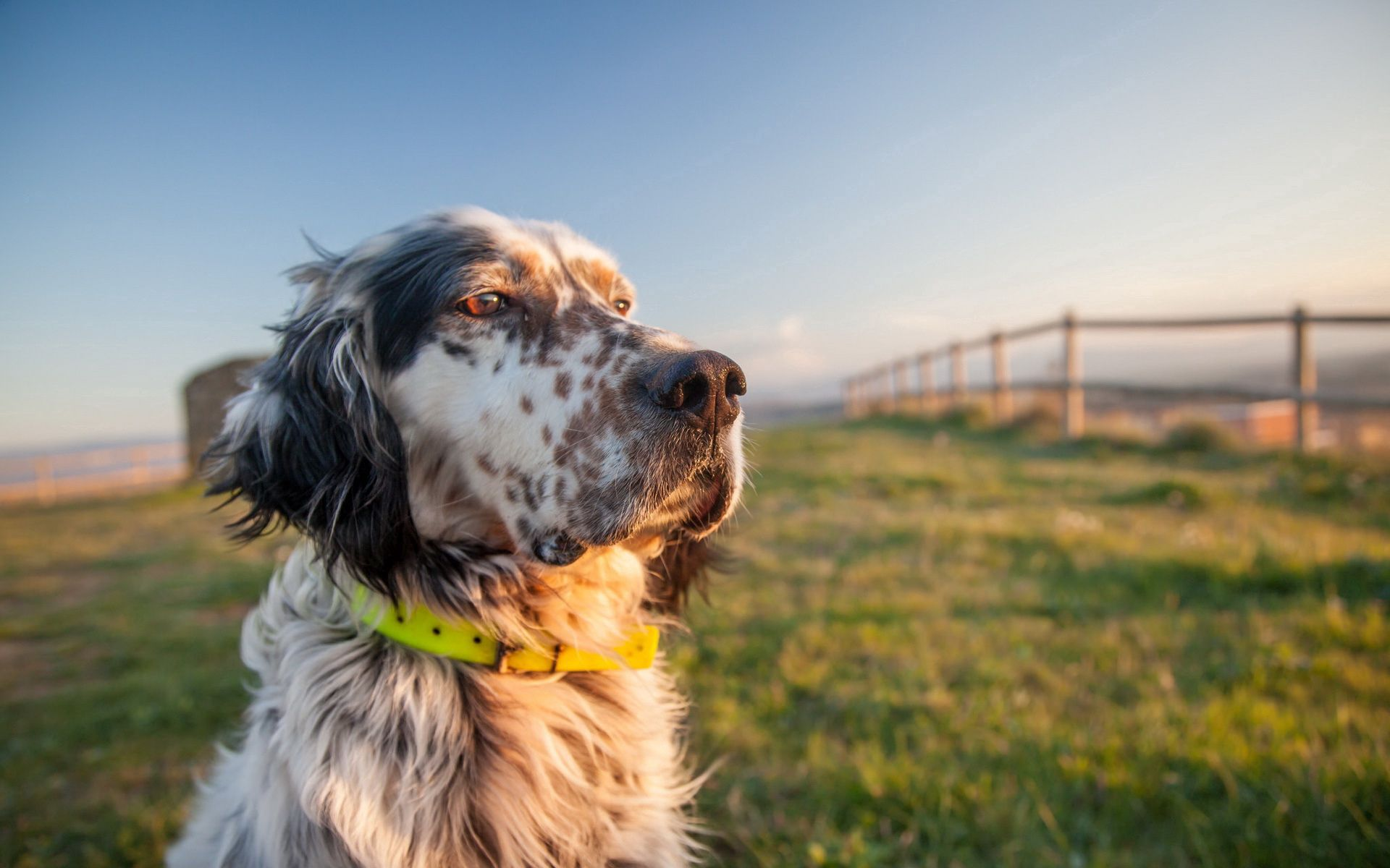 53156 Screensavers and Wallpapers Collar for phone. Download Animals, Grass, Dog, Muzzle, Collar pictures for free