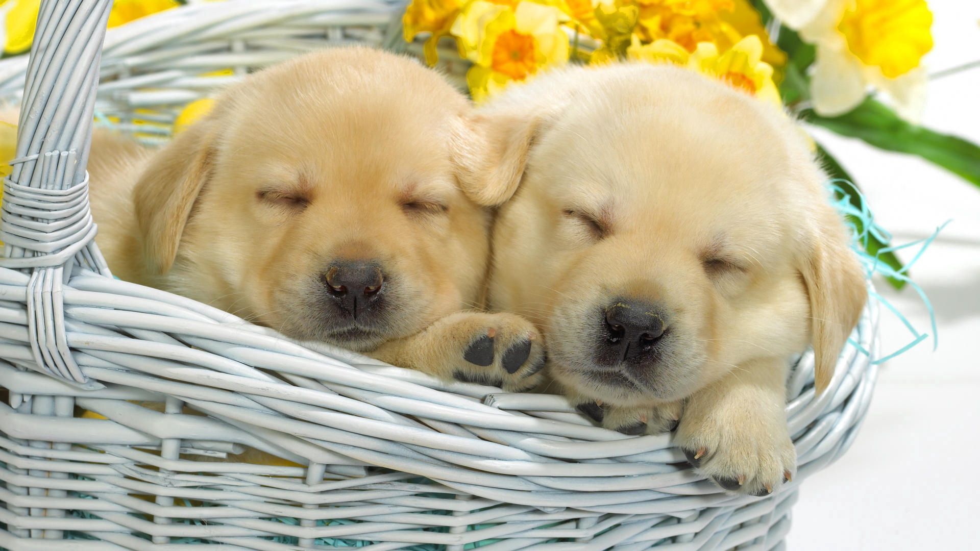89737 download wallpaper Animals, Flowers, To Lie Down, Lie, Basket, Labradors, Puppies screensavers and pictures for free