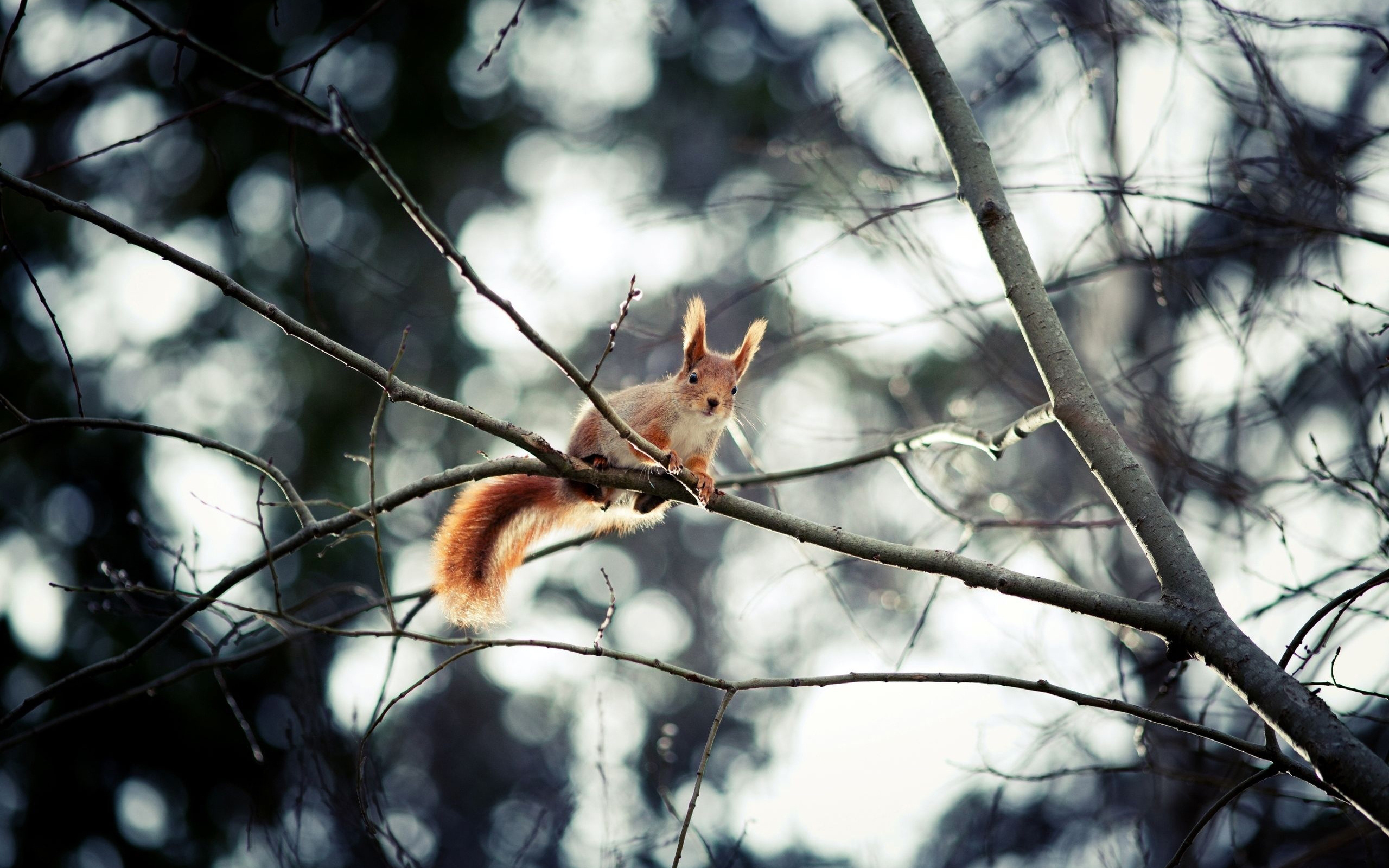 18677 download wallpaper Animals, Squirrel screensavers and pictures for free