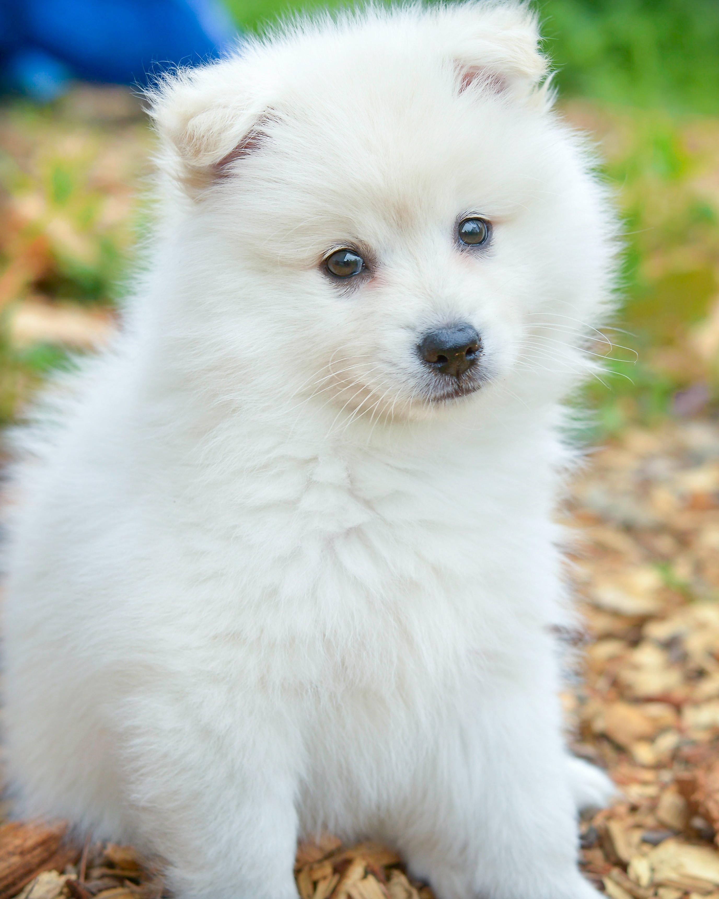 88067 download wallpaper Animals, Spitz, Dog, Nice, Sweetheart, Fluffy screensavers and pictures for free