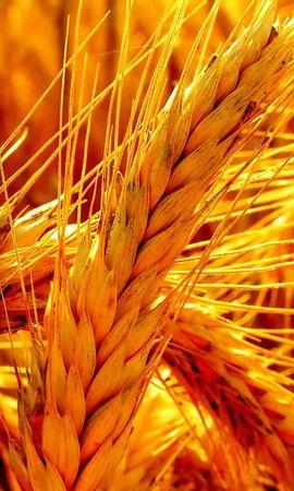 8953 скачать обои Растения, Пшеница - заставки и картинки бесплатно