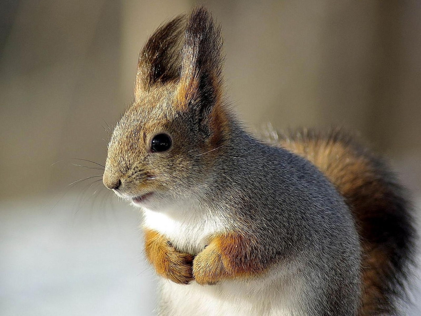 40590 download wallpaper Animals, Squirrel screensavers and pictures for free