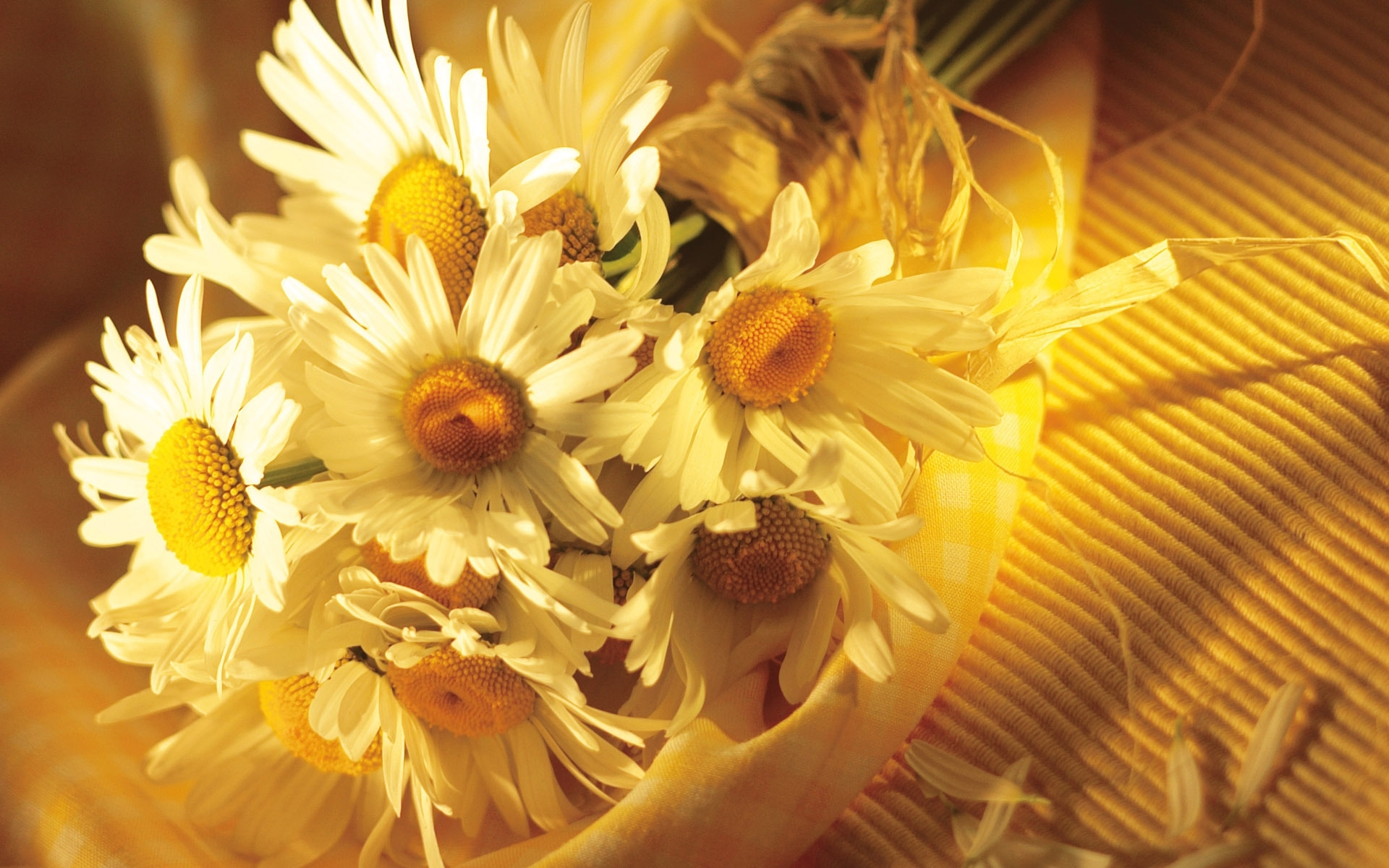 44594 download wallpaper Plants, Flowers, Camomile screensavers and pictures for free
