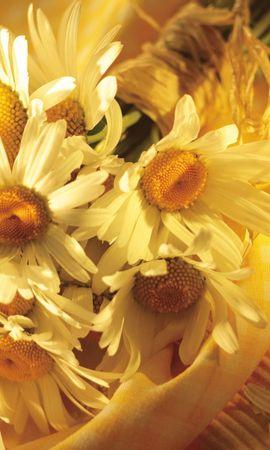 44594 télécharger le fond d'écran Plantes, Fleurs, Camomille - économiseurs d'écran et images gratuitement