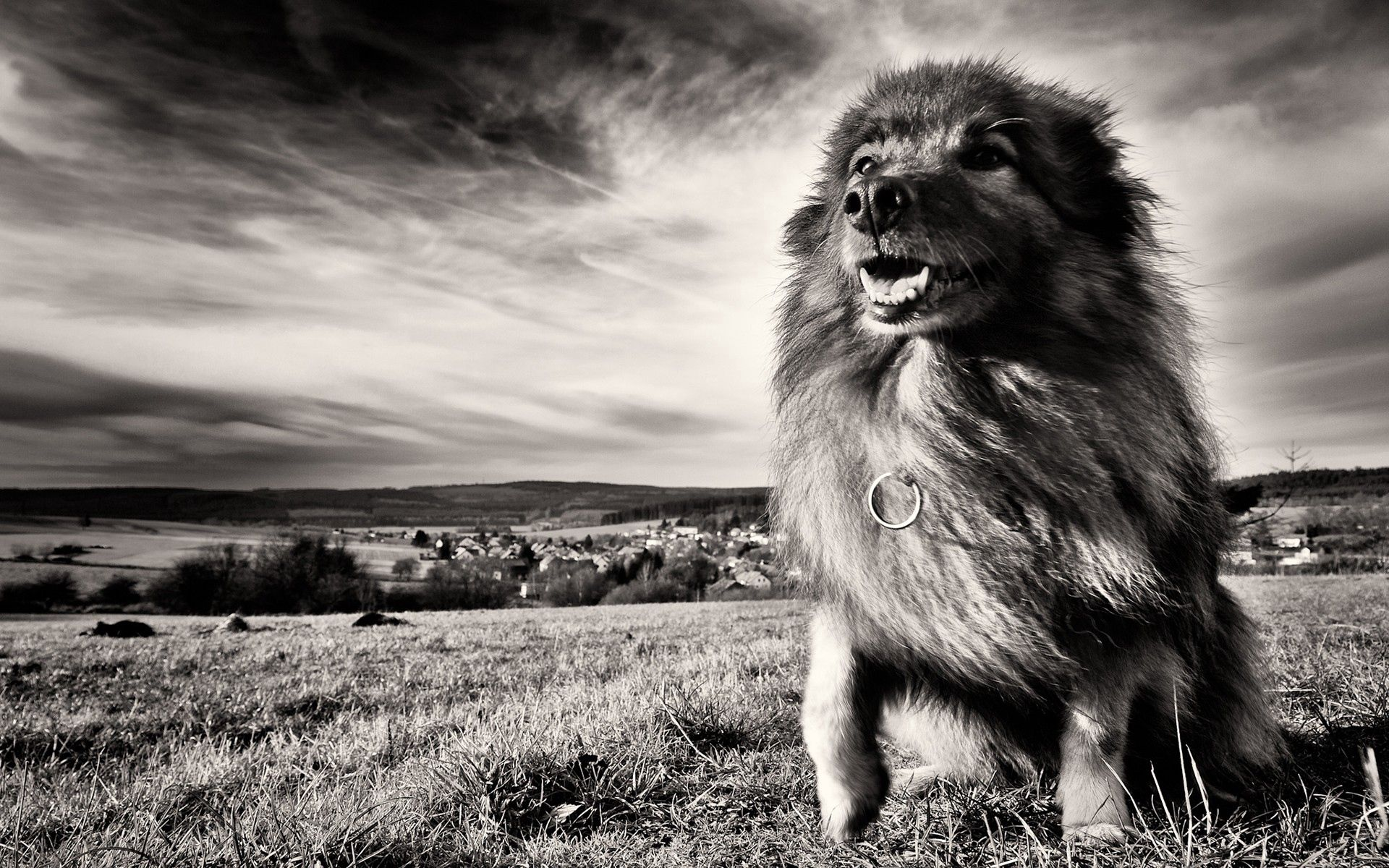 147599 download wallpaper Animals, Dog, Grass, Wind, Bw, Chb screensavers and pictures for free