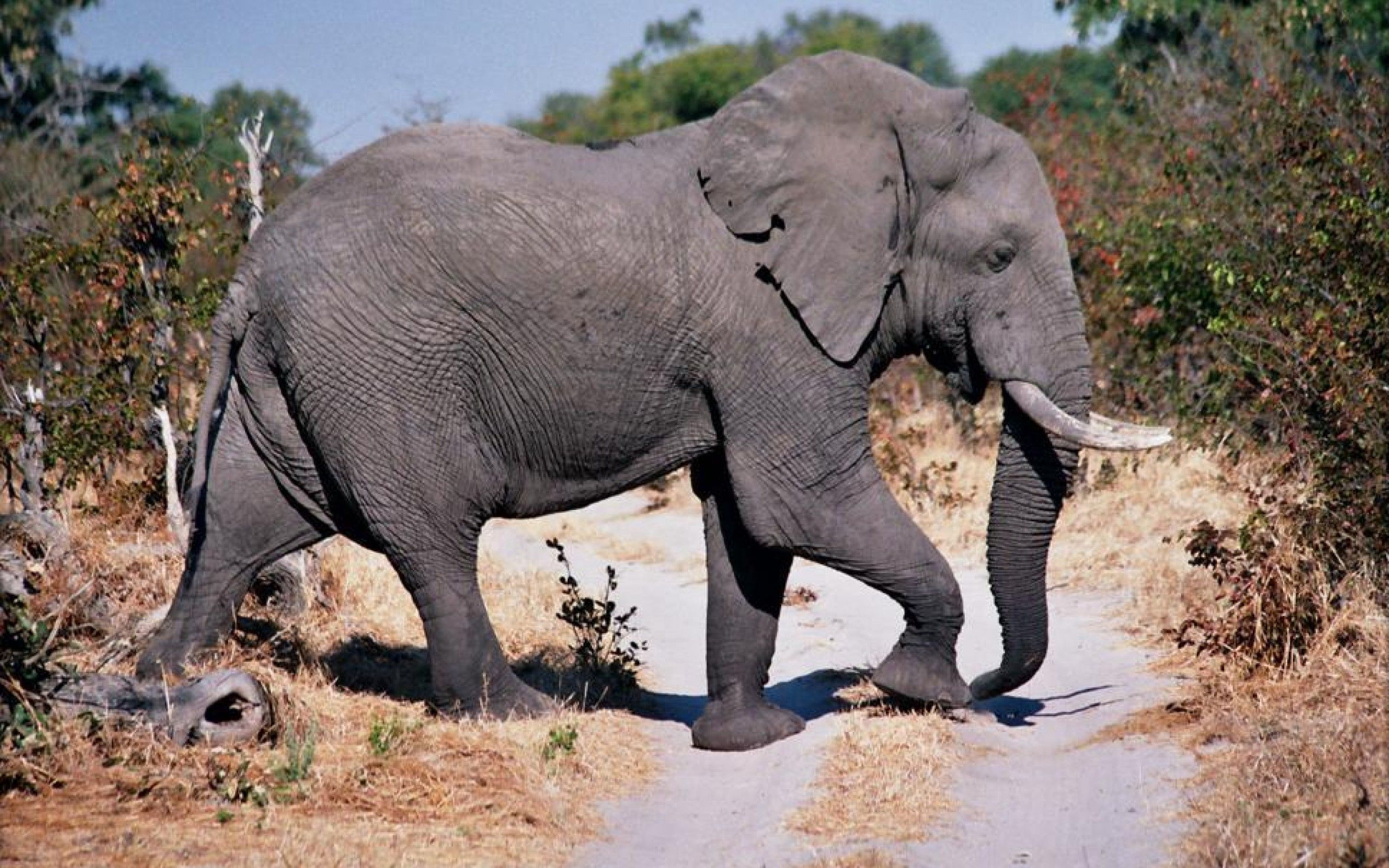 63652 Screensavers and Wallpapers Stroll for phone. Download Animals, Road, Stroll, Dust, Elephant pictures for free