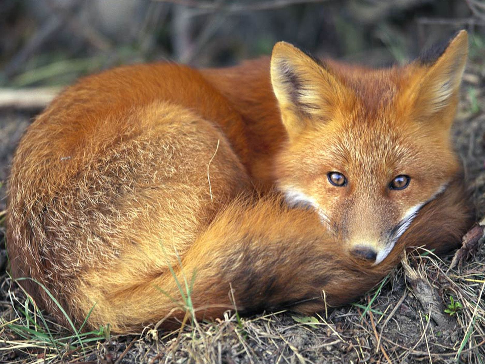 108445 download wallpaper Animals, Fox, To Lie Down, Lie, Relaxation, Rest, Bask screensavers and pictures for free