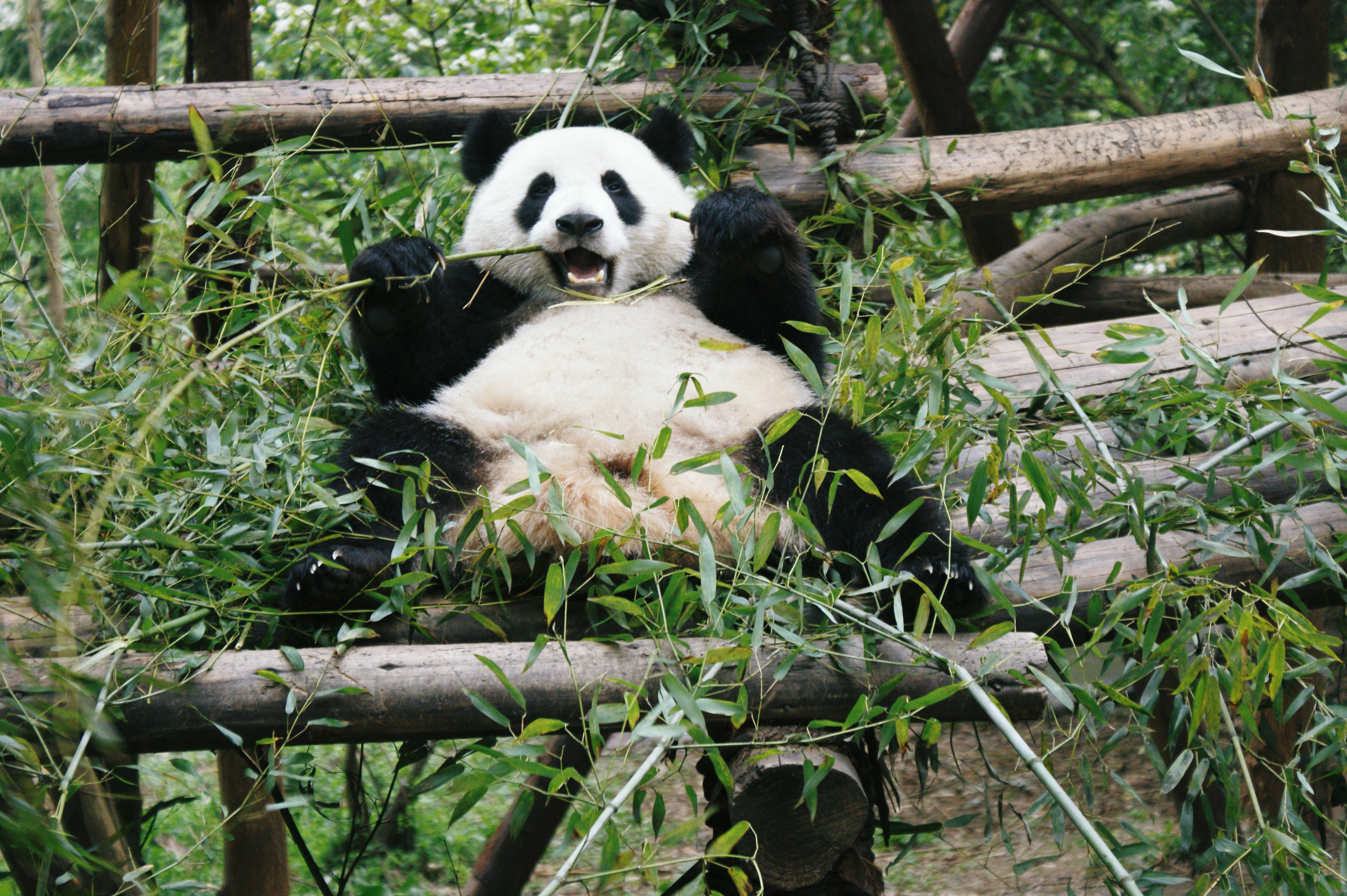 65209 download wallpaper Animals, Panda, Animal, Bamboo, Bear, Branches, Leaves screensavers and pictures for free