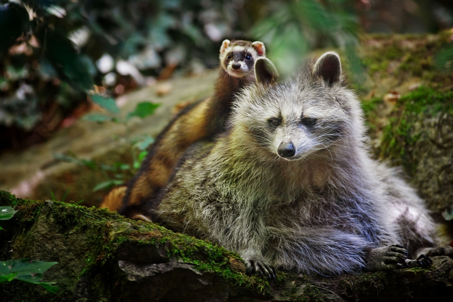 120095 Screensavers and Wallpapers Raccoon for phone. Download Animals, Ferret, Friends, Raccoon pictures for free
