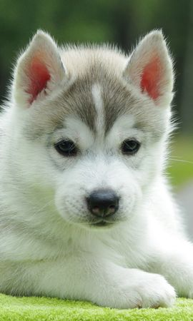 82104 download wallpaper Animals, Puppy, Husky, To Lie Down, Lie, Nice, Sweetheart screensavers and pictures for free