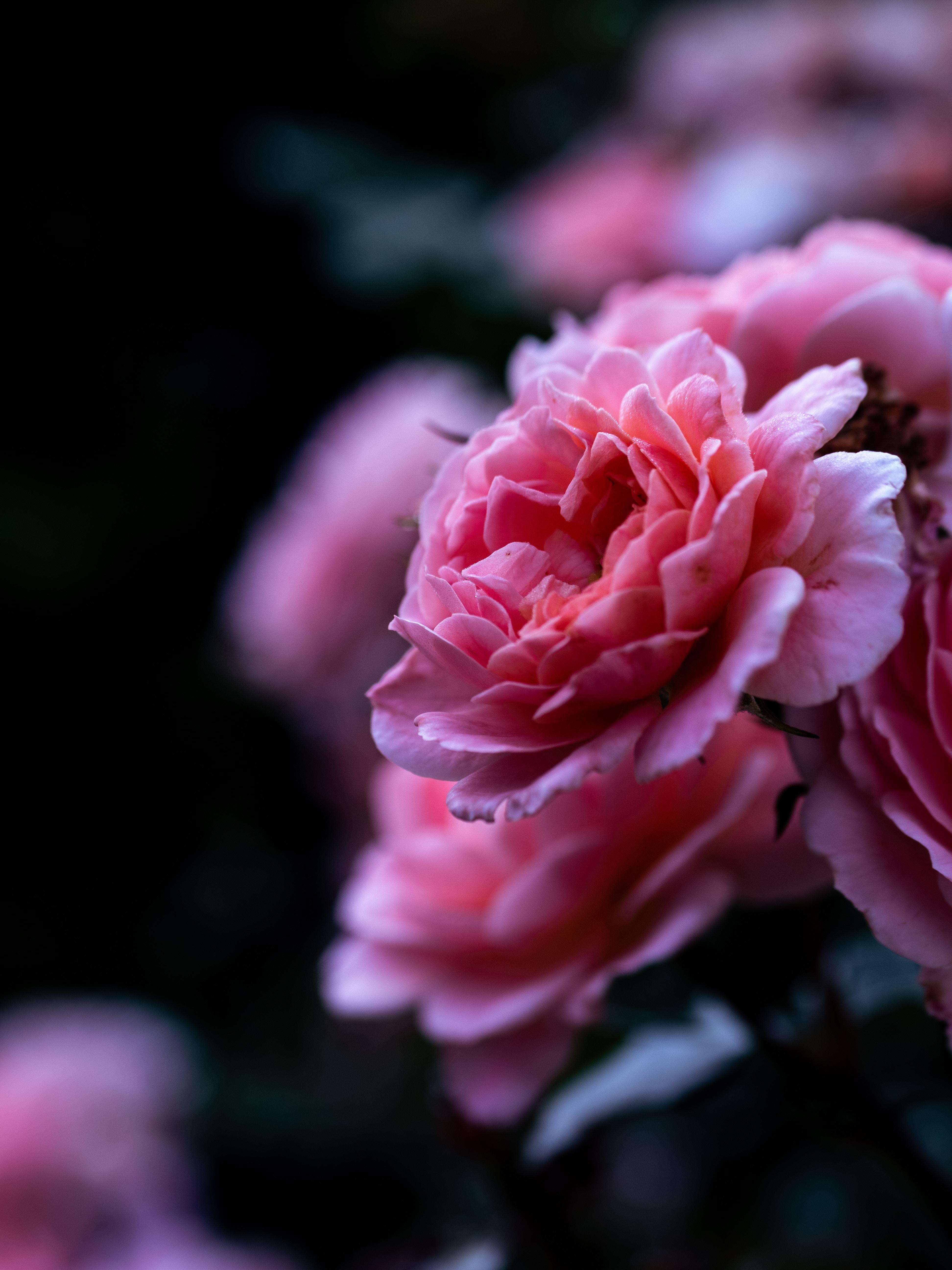 78806 скачать обои Крупный План, Цветок, Макро, Роза, Лепестки, Розовый - заставки и картинки бесплатно