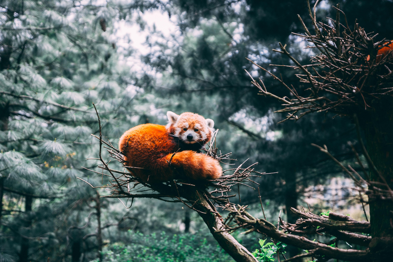 116033 download wallpaper Animals, Little Panda, Small Panda, Red Panda, Panda, Wildlife screensavers and pictures for free