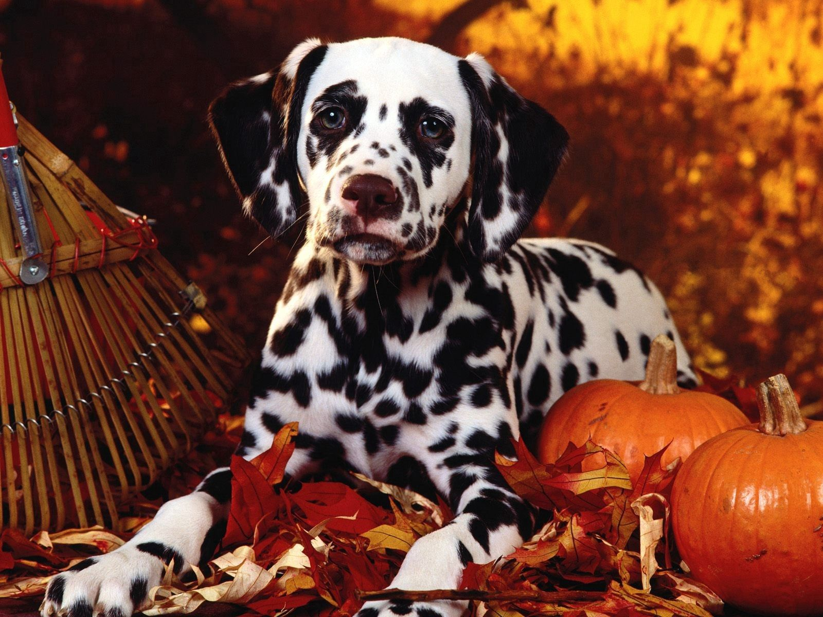 50708 download wallpaper Animals, Halloween, Pumpkin, Sit, Dog, Foliage, Dalmatian, Dalmatians, Breed screensavers and pictures for free