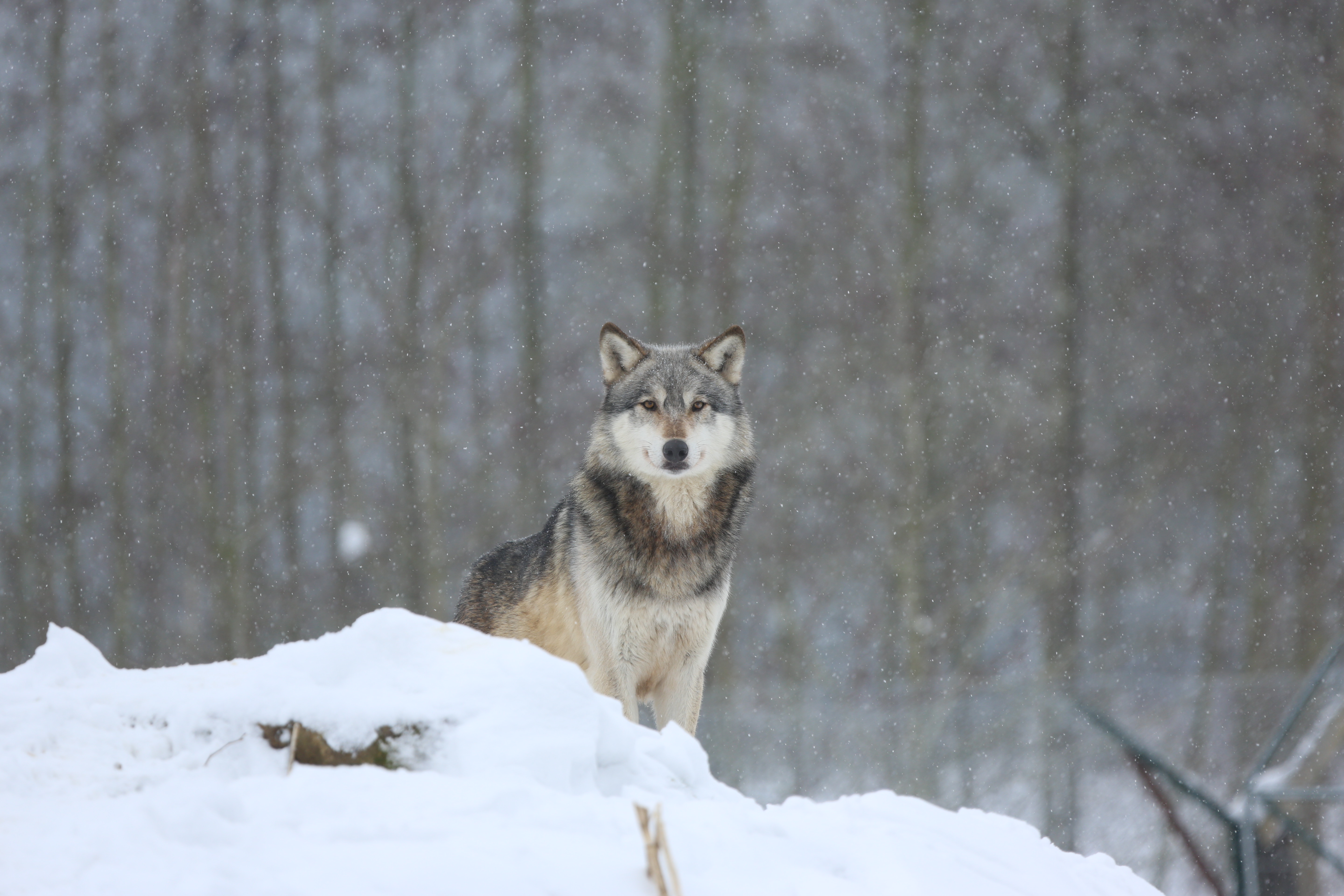 127468 download wallpaper Animals, Wolf, Predator, Snow, Grey screensavers and pictures for free