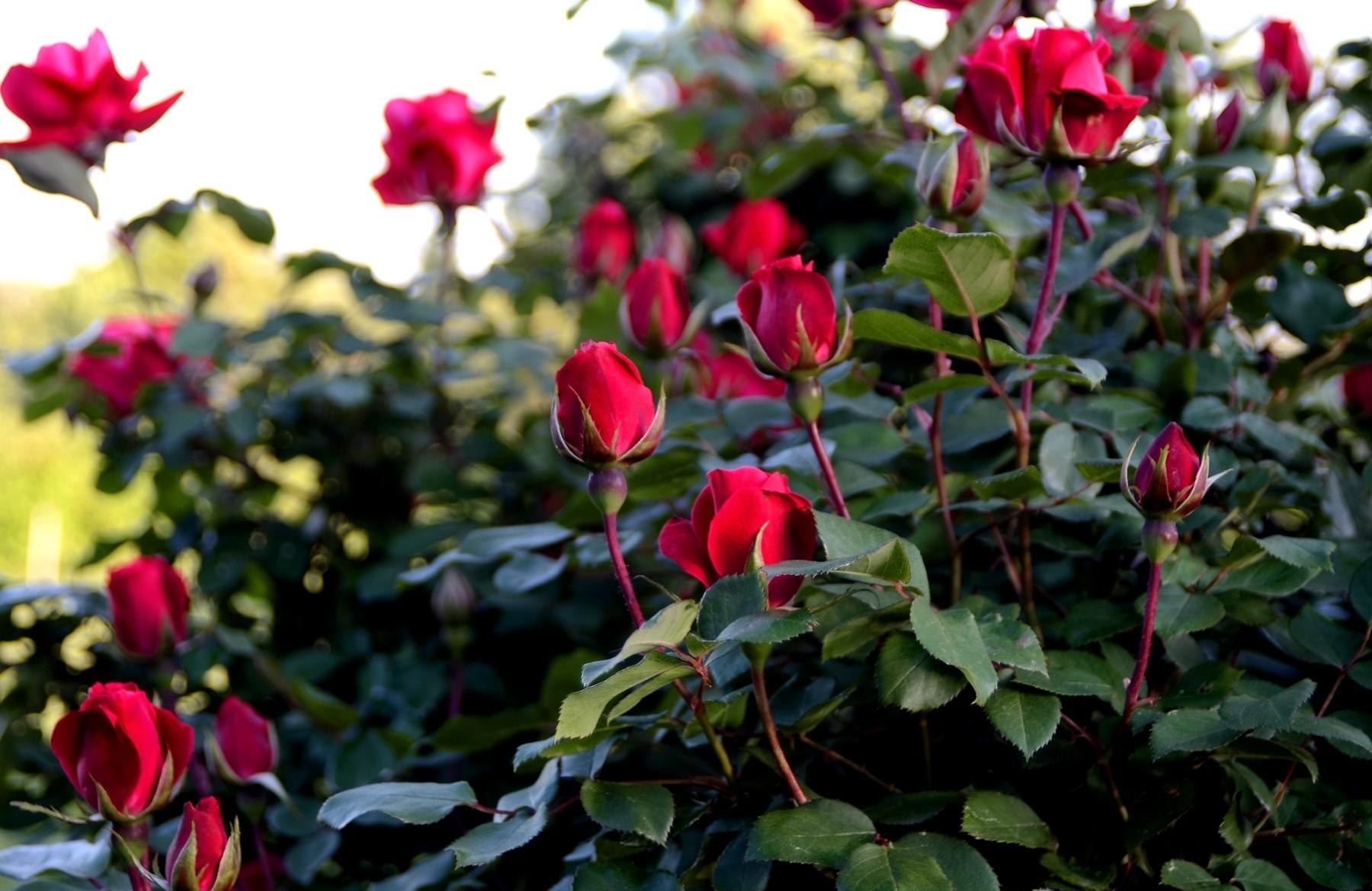 149295 download wallpaper Roses, Flowers, Bush, Greens, Garden, Buds screensavers and pictures for free