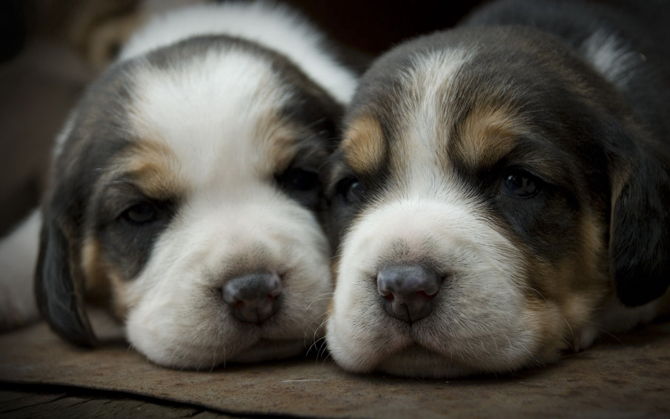 144415 download wallpaper Animals, Dog, Muzzle, Spotted, Spotty, Puppies screensavers and pictures for free