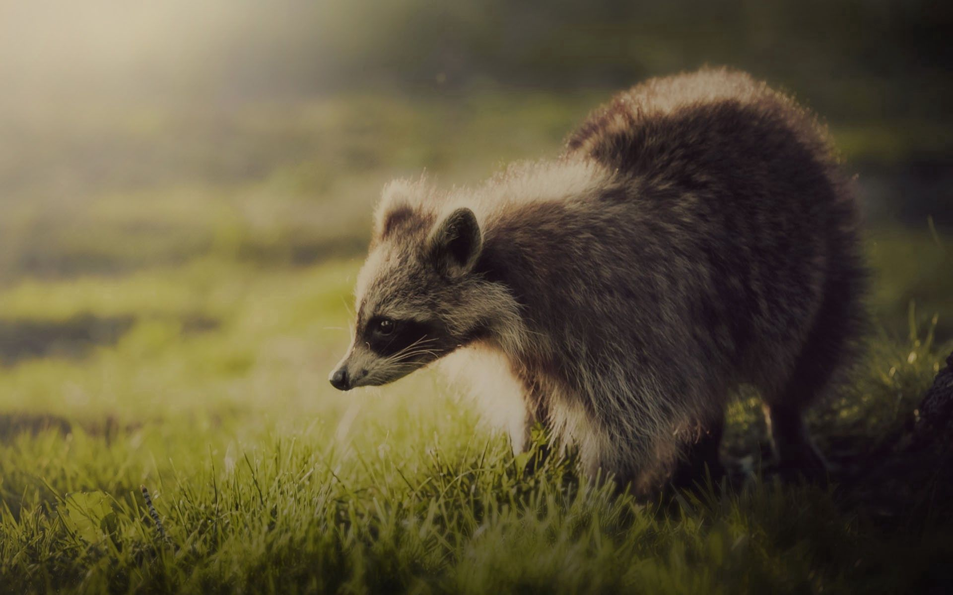 108672 Screensavers and Wallpapers Raccoon for phone. Download Animals, Grass, Shadow, Animal, Interest, Raccoon pictures for free