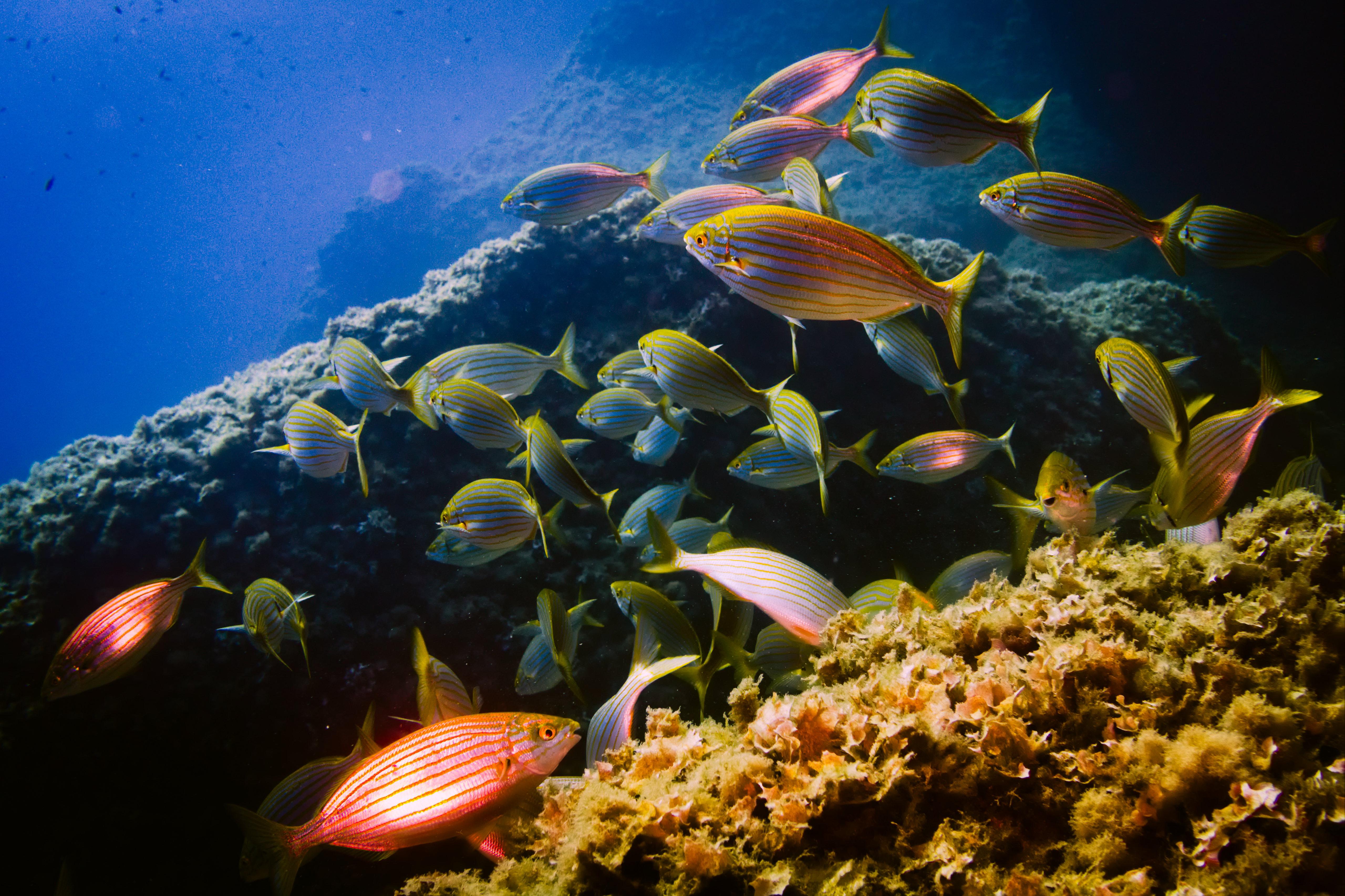 75072 download wallpaper Animals, Sarpa, Aquarium, Seaweed, Algae, Water, Fishes screensavers and pictures for free